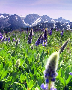 Cashmere Mountain Meadow